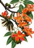 Kapockträd Royaltyfria Bilder