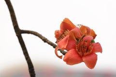 Kapoków kwiaty Obrazy Royalty Free