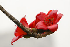 Kapoków kwiaty Obraz Stock