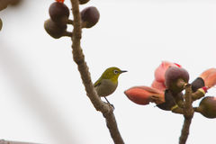 Kapok blossom ,a bird Royalty Free Stock Photo