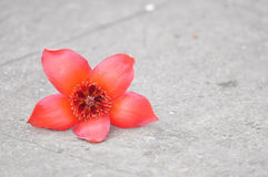 Kapok flower Stock Images
