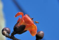 Kapok flower vs Bee. Kapok (scientific name: Bombax ceiba), also known as Panzhihua, Cotton Tree tree, plus padded, the hero tree, Gibe, spot sticks and Chiung Stock Photography