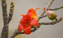 The kapok flowers. Spring has come to the Kapok flowering season Royalty Free Stock Image