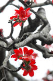 The kapok flowers. The crimson kapok flowers and  grey black twigs,spring flowers Stock Photos