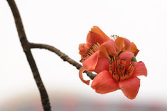 Kapok flowers. Kapok is official flower of Guangzhou.Kapok flower blossom in spring Royalty Free Stock Images