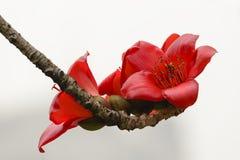 Kapok flowers. Kapok is official flower of Guangzhou.Kapok flower blossom in spring Stock Image