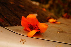 The kapok flowers in the top of the car Stock Photography