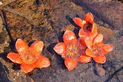 Kapok flowers stock photo  Image of fall, nature, flowers - 39489364
