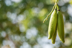 Kapok fruit green on tree branches detail. Natural kapok fruit green on tree branches detail close up Stock Images