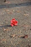 Kapok. Like the sturdy, silky flower Stock Photo