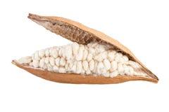 Kapok na bielu Wysuszona kapok owoc otwarta z włóknem odizolowywającym na bielu Fotografia Royalty Free