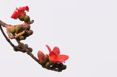 Kapok flowers. Kapok is official flower of Guangzhou.Kapok flower blossom in spring Royalty Free Stock Photography