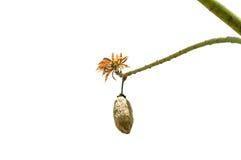 Kapok op boom Stock Afbeeldingen