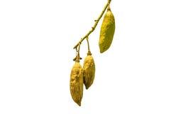 Kapok sur l'arbre Photo libre de droits