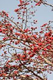 Kapok tree. The is flowering trees in spring Royalty Free Stock Photography