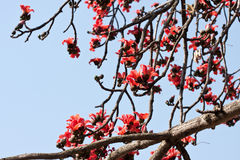 Kapok tree. The is flowering trees in spring Stock Photo