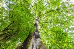 Kapok treen in botanical gardens Kebun Raya in Bogor, West Java,. Kapok tree in Botanical gardens Kebun Raya in Bogor, West Java, Indonesia Royalty Free Stock Images