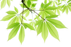 Kapok tree green leaf closeup Stock Photo