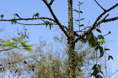 Kapok tree. A kapok tree photographed in west AFrica stock images