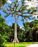 Kapok tree at Tikal, Guatemala royalty free stock photography