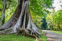 Kapok treen in botanical gardens Kebun Raya in Bogor, West Java,. Kapok tree in Botanical gardens Kebun Raya in Bogor, West Java, Indonesia Stock Photos