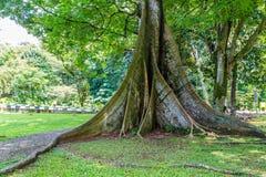 Kapok treen in botanical gardens Kebun Raya in Bogor, West Java,. Kapok tree in Botanical gardens Kebun Raya in Bogor, West Java, Indonesia Stock Image