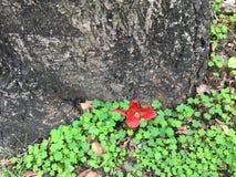 Kapoka drzewo Zdjęcie Stock