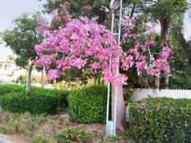Kapokbaum, der in der Stadt blüht Lizenzfreie Stockbilder