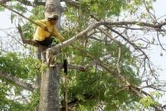 Kapokbaum, der im Solo, Java, Indonesien erntet Lizenzfreies Stockbild