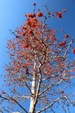 Kapokbaum oder Bombax Ceiba Lizenzfreie Stockfotos