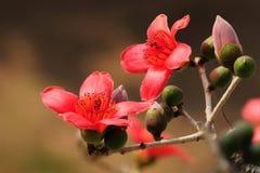 Den blomma Kapokblomman fjädrar in arkivfoto