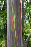 Kappau Hawaii colorful tree royalty free stock image