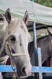 Kapplöpningshästar på lastbilen Royaltyfria Foton