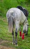 Kapplöpningshästen är betande Arkivfoto
