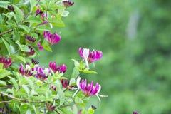 Kaprifolbuske med blommor. Royaltyfri Bild