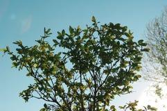 Kaprifolbusken blommar solnedgånghimmel Royaltyfria Bilder