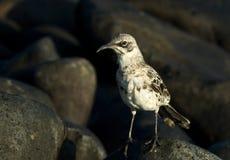 Kapspotlijster, Hood Mockingbird, Mimus-macdonaldi royalty-vrije stock afbeelding