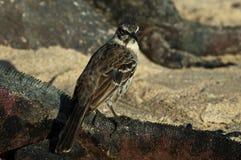 Kapspotlijster, Hood Mockingbird, Mimus-macdonaldi stock foto's