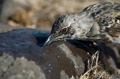 Kapspotlijster, Hood Mockingbird, Mimus-macdonaldi royalty-vrije stock foto