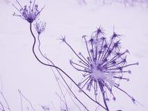kapsuła fioletowego materiału siewnego zdjęcia stock