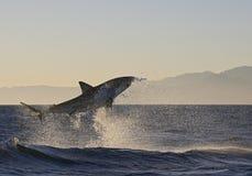 Kapsztad, rekiny, porywający doskakiwanie z wody, spojrzenia wielcy, everyone musi widzieć ten scenę w twój życiu once Zdjęcia Stock