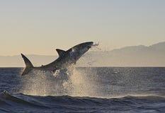 Kapsztad, rekiny, porywający doskakiwanie z wody, spojrzenia wielcy, everyone musi widzieć ten scenę w twój życiu once Obraz Royalty Free