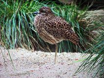 Kaptriel. Burhinus capensis - little bird on sand Stock Photo