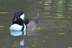 kapturzasta nurogęś kaczki Zdjęcie Stock