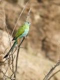 kapturzasta papuga zdjęcie royalty free