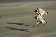 Kapturzasta siewka brodziec - na piaskowatej plaży Australia, Tasmania - Thinornis cucullatus mały shorebird - fotografia royalty free