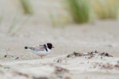 Kapturzasta siewka brodziec - na piaskowatej plaży Australia, Tasmania - Thinornis cucullatus mały shorebird - obrazy royalty free