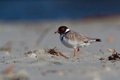 Kapturzasta siewka brodziec - na piaskowatej plaży Australia, Tasmania - Thinornis cucullatus mały shorebird - zdjęcia royalty free