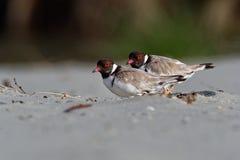Kapturzasta siewka brodziec - na piaskowatej plaży Australia, Tasmania - Thinornis cucullatus mały shorebird - obraz royalty free