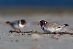 Kapturzasta siewka brodziec - na piaskowatej plaży Australia, Tasmania - Thinornis cucullatus mały shorebird - zdjęcia stock